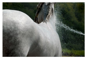 Shampoing pour Chevaux
