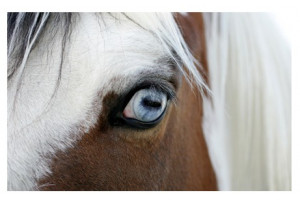 Yeux Chevaux - Nettoyant