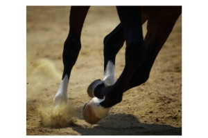 Tendon & Ligament du Cheval