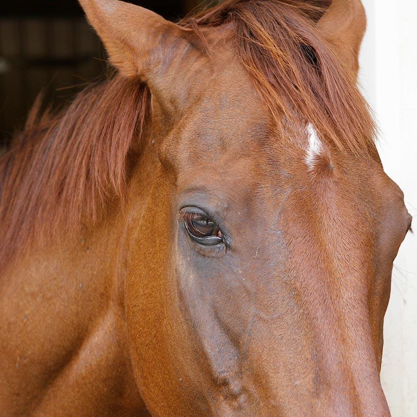Ulcères gastriques du cheval : Comment les prévenir