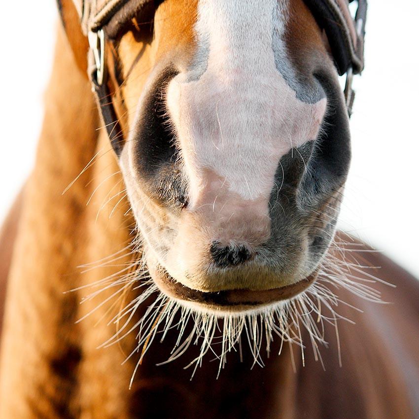 Confort respiratoire du cheval : Comment l'améliorer