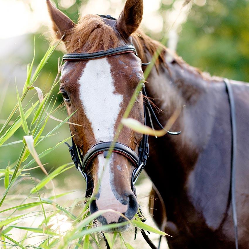 Phytothérapie équine : Ce qu'il faut savoir sur les plantes naturelles pour chevaux