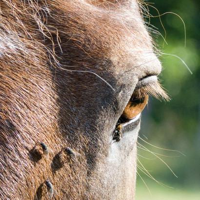 Anti mouche cheval : spray, masque, chemise, comment choisir