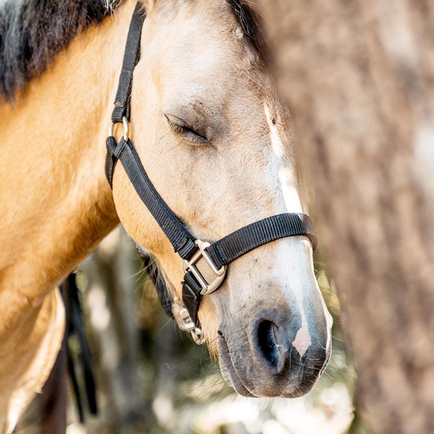 Gourme du cheval : causes et traitements