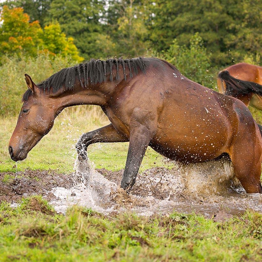Leptospirose du cheval : ce qu'il faut savoir
