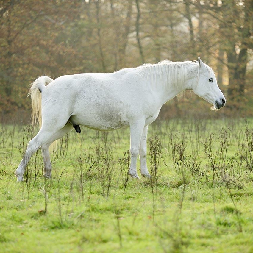 Insuffisance rénale chez le cheval : causes et traitements