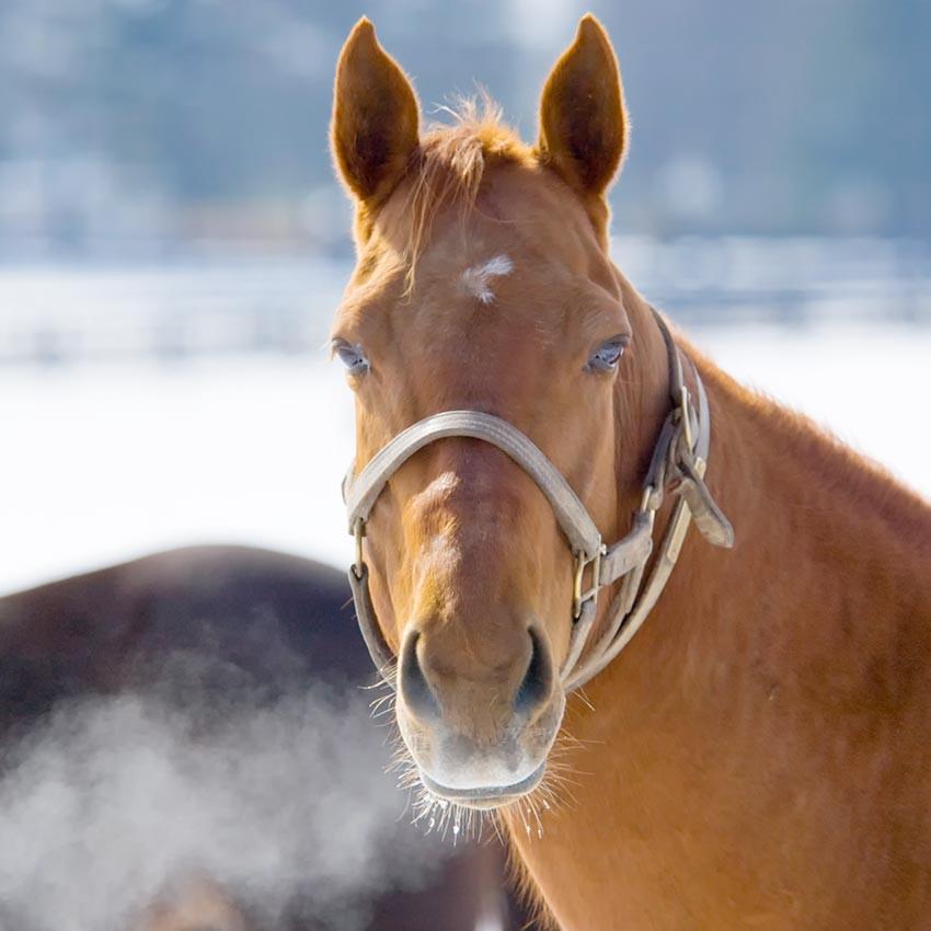 Toux du cheval : comprendre et agir